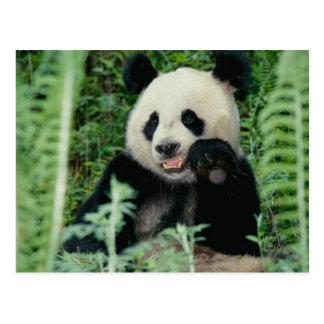 パンダ森林、Wolong、四川の中国 ポストカード