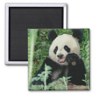 パンダ森林、Wolong、四川の中国 マグネット