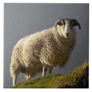 ヒツジ、Trotternish半島、Skyeの島、 タイル