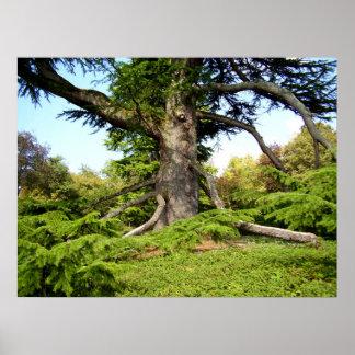 ヒマラヤスギのレバノンの木ポスター プリント