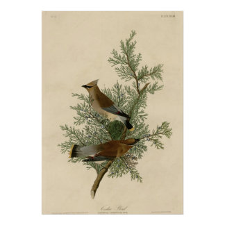 ヒマラヤスギの鳥 プリント