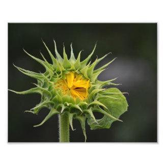 ヒマワリの芽の写真のプリント フォトプリント