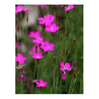ヒメナデシコの花 ポストカード
