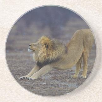 ヒョウ属のレオのヨガを伸ばしているオスのライオン コースター