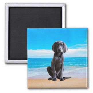 ビーチに坐っているWeimaraner犬 マグネット