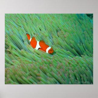ピエロのアネモネ魚、沖縄、日本の閉めて下さい ポスター
