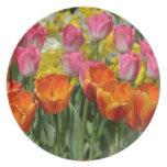 ピンクおよびオレンジ春のチューリップのプレート ディナー皿