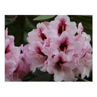 ピンクおよびバーガンディのツツジの花の郵便はがき ポストカード