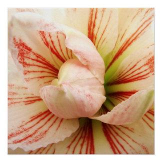 ピンクおよび白いアマリリスの花 ポスター