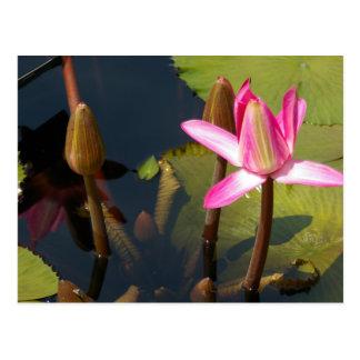 ピンクのはす《植物》スイレンの郵便はがき ポストカード
