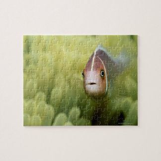 ピンクのアネモネ魚 ジグソーパズル