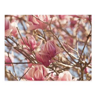 ピンクのチューリップ木の抽象的な写真 ポストカード