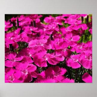 ピンクのナデシコの花 ポスター