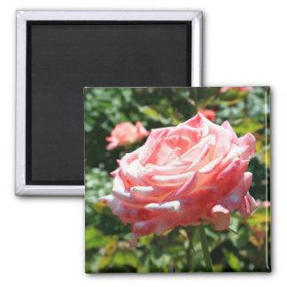 ピンクのバラによっては磁石が開花します マグネット