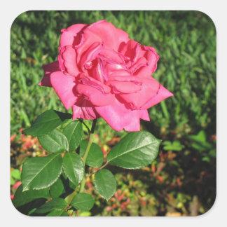 ピンクのバラのステッカー スクエアシール
