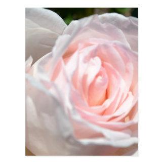 ピンクのバラのマクロ ポストカード