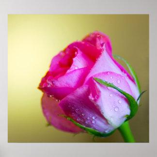 ピンクのバラの自然の雨低下のキス ポスター