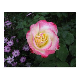 ピンクのバラの花 はがき