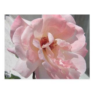 ピンクのバラの開花 ポストカード