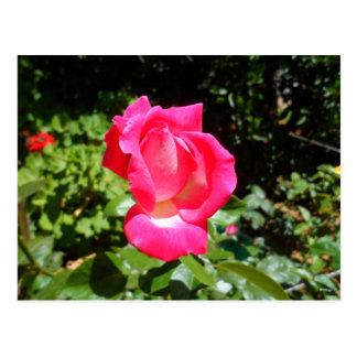 ピンクのバラ 葉書き