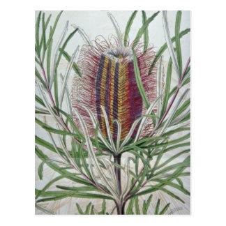 ピンクのバンクシアのoccidentalisの花 ポストカード