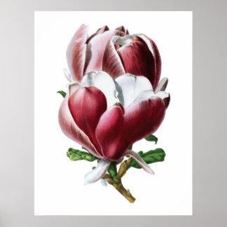 ピンクのマグノリアの大きい花ポスター ポスター