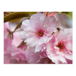 ピンクの桜の花 ポストカード