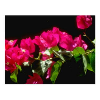 ピンクの熱帯花、Ocho Riosの花 ポストカード
