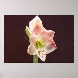 ピンクの白いアマリリスの花 ポスター