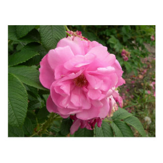 ピンクの花の郵便はがき ポストカード