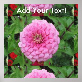 ピンクの花盛りの《植物》百日草 ポスター