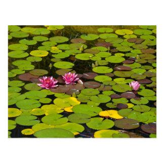 ピンクの《植物》スイレンの庭の池 ポストカード