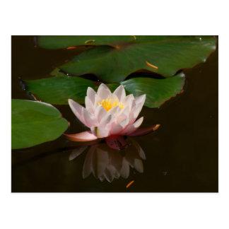 ピンクの《植物》スイレン 葉書き