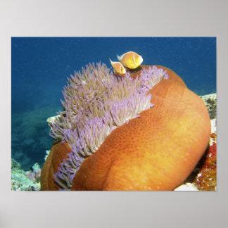 ピンクのAnemonefishのAmphiprionのperideraion) ポスター