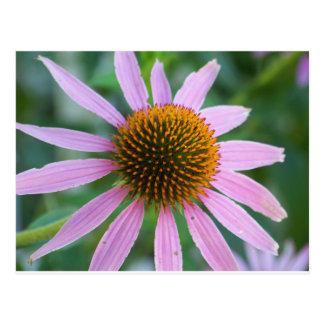 ピンクのConeflower ポストカード