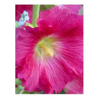 ピンクのHollyhockの花の郵便はがき ポストカード