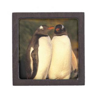 フォークランド島。 Gentooのペンギン。  (Pyroscelis ギフトボックス