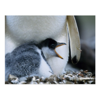 フォークランド諸国。 Gentooのペンギンのひよこの隣の ポストカード