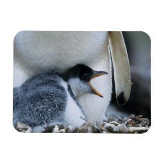 フォークランド諸国。 Gentooのペンギンのひよこの隣の マグネット
