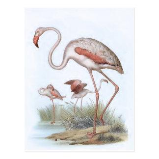 フラミンゴのヴィンテージの鳥のイラストレーション ポストカード