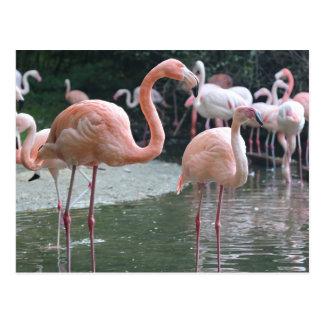 フラミンゴの鳥 ポストカード