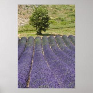 フランス、プロバンス。 花のラベンダーの列 ポスター