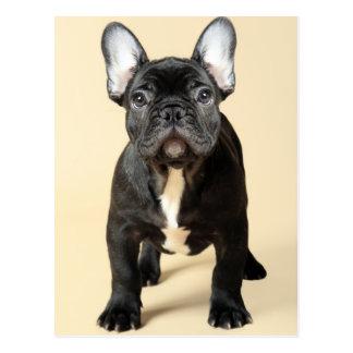 フレンチ・ブルドッグの子犬の地位のスタジオのポートレート ポストカード
