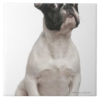 フレンチ・ブルドッグの子犬(5か月古い) タイル