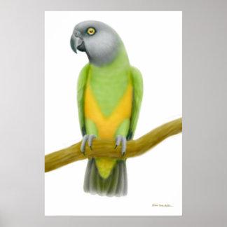 フレンドリーなセネガルのオウムのプリント ポスター