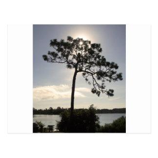 フロリダの松の木 ポストカード