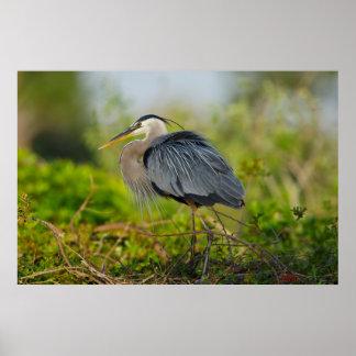 フロリダ、ベニスの素晴らしい青鷲の育成 ポスター