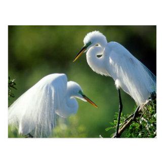 フロリダ、ベニスのAudubonの聖域、共通の白鷺 ポストカード