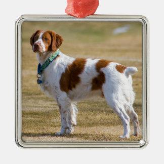 ブリッタニー犬の美しい写真の正方形のオーナメント メタルオーナメント