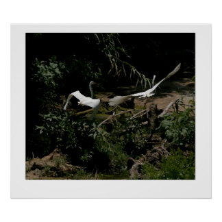プリントを飛ばしている2羽の素晴らしい白鷺 ポスター